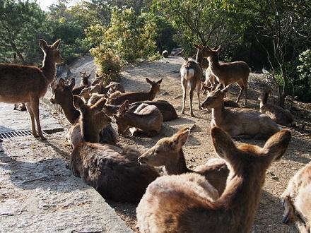 宮島でお土産買ったら鹿にご注意を~
