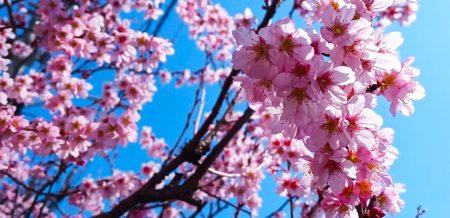 桜が咲いた!春が待ち遠しいハルウララ
